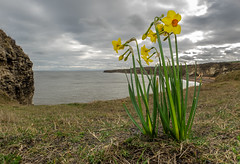 Daffodils at Noses Point, Dawdon. (CWhatPhotos) Tags: cwhatphotos camera photographs photograph pics pictures pic picture image images foto fotos photography artistic that have which contain flickr olympus omd em1 mk l mzuiko 8mm prime fisheye fish eye lens durham north east england uk dawdon noses point sea seaside coast daff dafodil daffodils flower flowers sky skies clouds cloud view