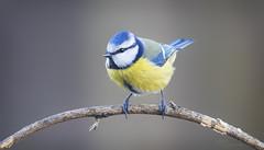 Blue Tit (Paula Darwinkel) Tags: bluetit tit bird animal willdife nature europe birdphotography wildlifephotography