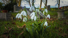 Bampton - some of the 1st snowdrops seen this year (Bobinstow2010) Tags: green white flower snowdrop cemetery oxfordshire uk photoshop topaz grave graveyard trees grass