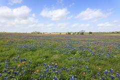 2017-016-214 Spring Wildflowers (Chrisinkingwood) Tags: texas wildflowers brenham unitedstates us