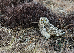 Wildlife March 17th 2019 078 (Mark Schofield @ JB Schofield) Tags: reservoir water peat moorland bog moss agriculture yorkshire huddersfield wessenden head pule buckstones scammonden royd edge valley holme colne marsden meltham digley march haigh west nab deer emley mast lapwing curlew hare bird wildlife oyster catcher chick young short eared owl pennine way south pennines peak national park trust hills moors vallies hunting little duck mallard grouse kestrel red grey wagtail flight fly england unitedkingdom gb