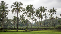 Rice fields at Mayang (Hans van der Boom) Tags: vacation holiday asia indonesia sawadee rice fields trees green mayang java id perpetualwinner