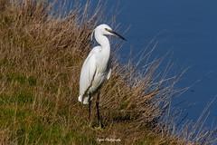 Aigrette garzette (PYROS Photography) Tags: oiseau faune marais aigrette olonne nature vendée 85