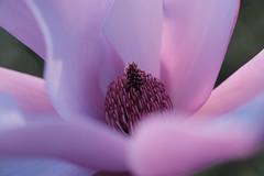 majesté (christophe.laigle) Tags: rose christophelaigle fleur macro pink flower fuji magnolia xpro2 xf60mm nature