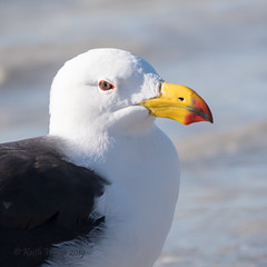 Pacific Gull (Larus pacificus) (Keefy2014) Tags: pacific gull larus pacificus cheynes beach