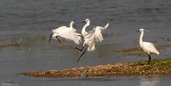 Excited Egrets (Steve (Hooky) Waddingham) Tags: stevenwaddinghamphotography animal countryside bird british nature fight wild wildlife water rutland
