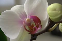 Orquídea phalaenopsis (Rabadán Fotho) Tags: fotografia flor flowers flores foto floración flower florrosa floresrosas