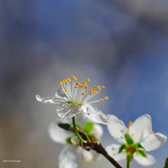 Fleur du printemps (jpto_55) Tags: kironlens kiron105mmf28macro fleur bokeh macro fuji fujifilm xt20 hautegaronne france