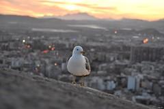 Last light (Nina_Ali) Tags: gull cityscape backlit sunset gullatsunset spain espana bird lastlight backlight