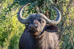 Marakele (Aperturesmith) Tags: marakele animals wildlife nature national park south africa bushveld bosveld bokke diere buffalo buffel