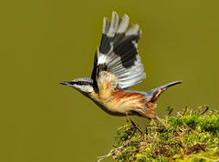 Eurasian nuthatch ( Sitta europaea  ) - We have lift off!! (Clive Brown 72) Tags: bird woodland inflight wales moss passerine takeoff feisty forest oak nuthatch