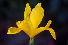 Dutch Iris (San Francisco Gal) Tags: dutchiris flower flora fleur bloom blossom macro bokeh ngc