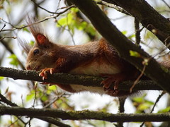 a other squirrel i see you :) (poolloop11) Tags: squirrel animal animals tier tree baum beautiful