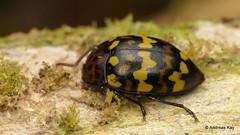 Fungus Beetle, Mycotretus sp.? Erotylidae (Ecuador Megadiverso) Tags: andreaskay beetle coleoptera ecuador erotylidae fungusbeetle mycotretus