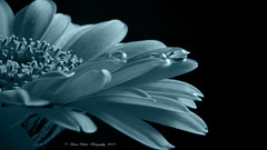 droplet blue (anaidphotography) Tags: light blue blooming licht macro water waterdrop wassertropfen monchrom gerbera black schwarz detail floral beautiful beauty makro