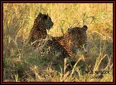 FEMALE LEOPARD AND HER CUB (Panthera pardus) ...MASAI MARA.....SEPT 2018. (M Z Malik) Tags: nikon d3x 200400mm14afs kenya africa safari wildlife masaimara keekoroklodge exoticafricanwildlife exoticafricancats flickrbigcats leopard pantheraparduc ngc npc