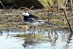PIED WAGTAIL 20.3.2019