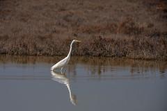 Great egret (JLM62380) Tags: camargue aigrette ardea alba oiseau eau water herb herbes animal rhône greategret grandeaigrette