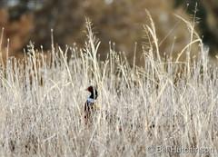 January 10, 2019 - A pheasant sneaks through the grass in Adams County. (Bill Hutchinson)