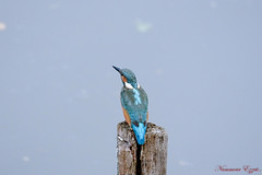 Martin-pêcheur d'Europe Alcedo atthis (Ezzo33) Tags: martinpêcheurdeurope alcedoatthis france gironde nouvelleaquitaine bordeaux ezzo33 nammour ezzat sony rx10m3 parc jardin oiseau oiseaux bird birds specanimal