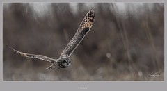 Gliding by (frankpaliphotography) Tags: eared portrait natural nature shorteared meadow brown background animal feather bird outdoors yellow wings beak owl closeup ornithology asio shortearedowl owls asioflammeus flight predator yellowanimalshortearedowl prey wing flammeus raptor eye short wildlife white