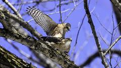 Épervier de Cooper /Cooper's Hawk (richard.hebert68) Tags: nikon z7 300mmf4pf forêts arbre bleu ciel epervier printemps québec canada domainemaizerets