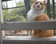 Jimmy at the window, 4 (rootcrop54) Tags: jimmy orange ginger tabby male cat open window insideoutside neko macska kedi 猫 kočka kissa γάτα köttur kucing gatto 고양이 kaķis katė katt katze katzen kot кошка mačka gatos maček kitteh chat ネコ insidecatenclosure