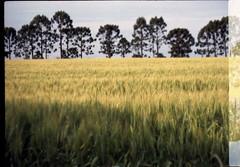 Trigo nos Campos Gerais (terencekeller) Tags: exa 1b exa1b domiplan 28 50mm 35mm analog v370 fujicolor fujifilm c200 paraná plantação trigo araucárias ponta grossa camposgerais