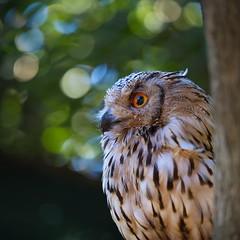 Bengal or indian eagle-owl (Bubo bubo bengalensis) (Stefan Zwi.) Tags: uhu bengalenuhu bubo bengal indianeagleowl bubobubobengalensis bird vogel bokeh