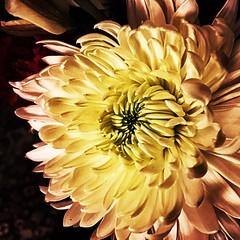 Life sized. #Takoma #dc #dclife #washingtondc #iphone #iPhonemacro #macro  #flower #flowersofinstagram (Kindle Girl) Tags: iphone takoma dc dclife washingtondc iphonemacro macro flower flowersofinstagram
