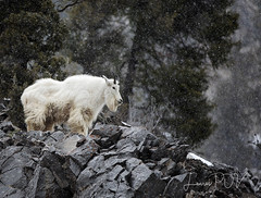 the SENTINAL (laura's Point of View) Tags: mountaingoat wildlife animal mammal mountains cliff ledge rock winter snow cold seasons alpinewyoming jacksonhole wyoming unitedstates northamerica west western landscape forest trees lauraspov lauraspointofview nanny female