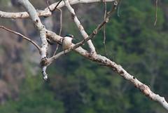 Posing kingfisher (Sven Rudolf Jan) Tags: tufi papuanewguinea bird sacredkingfisher