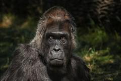 Portrait (THW-Berlin) Tags: primaten affen gorilla animals tiere natur sony protrait zoo alpha6500 fe70300