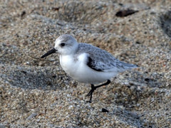 Sanderling (fractalv) Tags: california carmelbythesea monestary beach pacific ocean bird birds