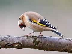 Goldfinch (Huw Prosser) Tags: 300mm f4 mzuiko panasonic lumix dcg9 tree bird goldfinch