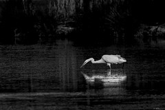 MIROIR MON BEAU MIROIR  . (thierrymuller) Tags: 200500nikon 2018 camargue d610nikon elpadrepicture photopassion thierrymuller vigueirat nature art animal animals aves photo photographie nikonpassion nikon mamanano frenchtouch france bird bw birds blackwhite noiretblanc