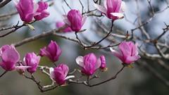 Magnolia  Liliiflora (bamboosage) Tags: supermulticoated takumar 135 25 m42