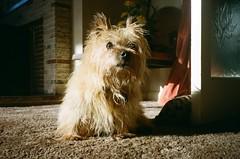 My friend (iampaulrus) Tags: norwichterrier terrier dog yashicat3 pet film filmphotography 35mm 35mmfilmphotography lomography