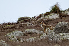 Coyote in the Rocks (lennycarl08) Tags: pointreyesnationalseashore pointreyes coyote animalplanet animals wildlife