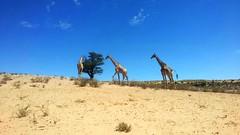 IMG-20190224-WA0001_ Namibia * (argia world 1) Tags: namibia giraffe cielo erba sabbia animali paesaggio campo albero sky grass sand animals landscape field tree