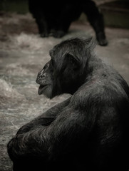 'Another day' (samuel.t18) Tags: bored chimp animal zoo cheter blackandwhite day another pose sitting human
