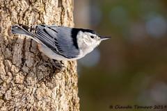 Chickadee at the Jack Pine Trail (Claude Tomaro) Tags: chickadee bird jackpine trail claude tomaro winter ottawa canada