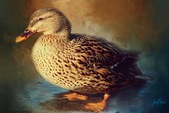 Female Mallard.... (Patlees) Tags: duck mallard female textured dt