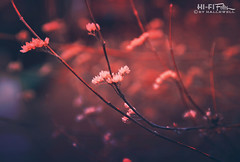 Thoreau Said It Best (Hi-Fi Fotos) Tags: twig branch bud nature flower life morning outdoor woods fuzzy bokeh blur mood abstract nikon d5000 dx hififotos hallewell