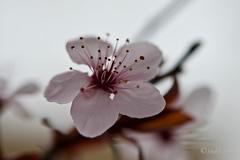 Flor del ciruelo de jardín, (Prunus cerasifera). (EFD-fotolab) Tags: efdfotolab nikkor105mm nikond610 nikon macrofotografia macro españa invierno naturaleza flowers flores ciruelodejardin prunuscerasifera ngc