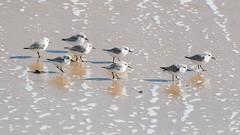 Sanderlings (pstani) Tags: england essex europe greatbritain scolopacidae waltononthenaze bird fauna sanderling sandpiper wader