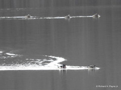 Wood Duck_N3875 (Henryr10) Tags: newtowngravelpits newtownoh roundbottomroad barberlake dravcogravelpit usa ohio woodduck aixsponsa aix duck avian bird vogel ibon oiseau pasare fågel uccello tékklistar waterfowl wodu