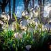 Leucojum vernum, called spring snowflake