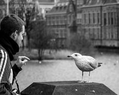 Gull city The Hague © Inge Hoogendoorn (ingehoogendoorn) Tags: gull gulls seagull seagulls birds bird vogel vogels meeuw meeuwen binnenhof denhaag thehague langevijverberg hofvijver torentje torentjevanrutte eerstekamer humansandanimals