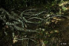 20170828-20170821-IMG_5848 (sandraO_O) Tags: root tree mystical plitvičkajezera croatia
